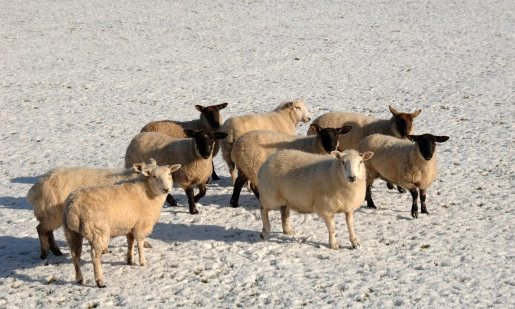 AFBI warns farmers of the risks posed by certain ornamental plants to sheep