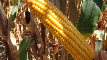 Latest results show very high yield potential for newest Pioneer maize variety