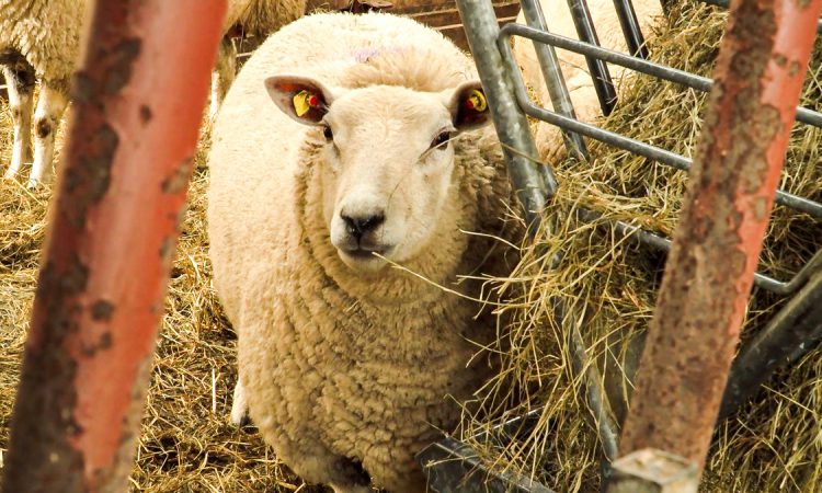 NSA urges sheep farmers to register for SFI pilot