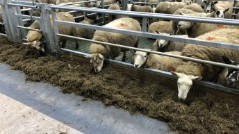 Sheep management: Taking action quickly when it comes to thinner ewes