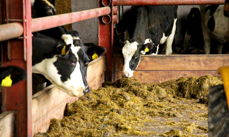 Reducing the carbon footprint of dairy cows