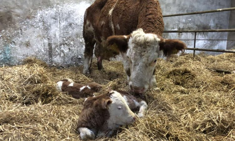 Keeping on top of hygiene during the calving season