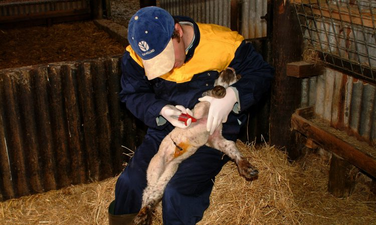 Sheep producers urged to protect young lambs from preventable disease threats