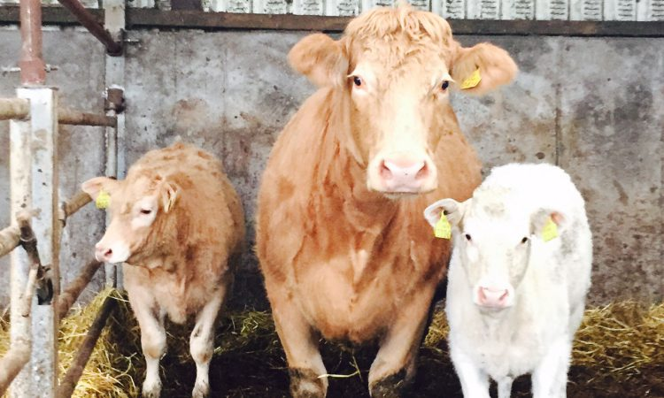 Beef-sired calf registrations drop in Northern Ireland