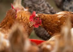 Government to issue short-term visas for poultry workers for Christmas