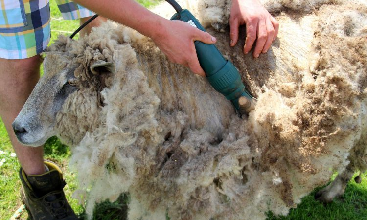 British Wool and young farmers gear up for the shearing season