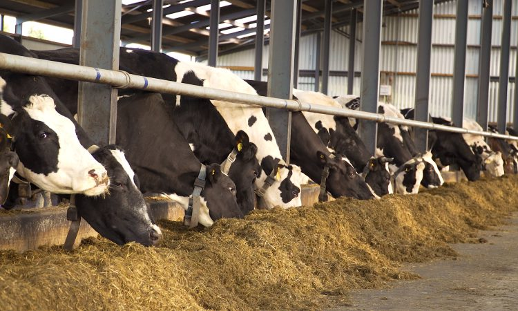 How can subclinical mineral deficiency occur post-calving?