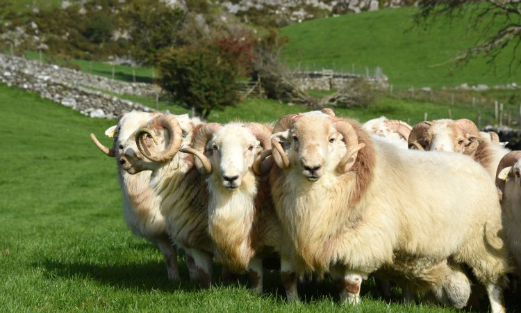 The Hill Ram Scheme searches for commercial flocks