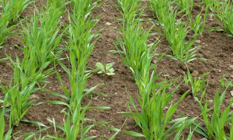 New international partnership established to combat weeds