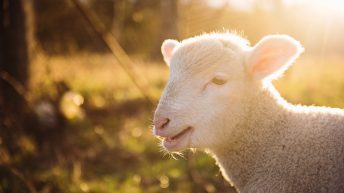 Border Leicester Sheep Society to mark 125 years with show and competition