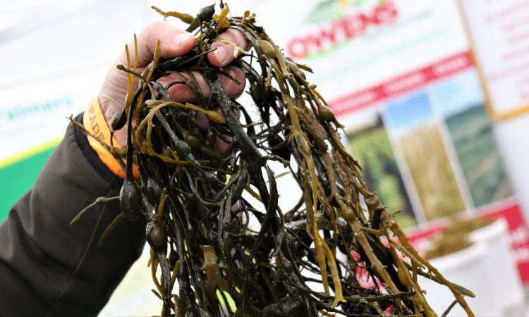 Farm trials to investigate how seaweed could lower livestock emissions