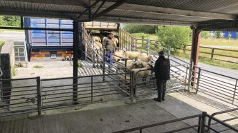 Northern sheep trade: Average hogget and spring lamb prices rise