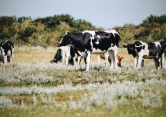 UK dairy farmers looking to buy British milk replacer for their calves