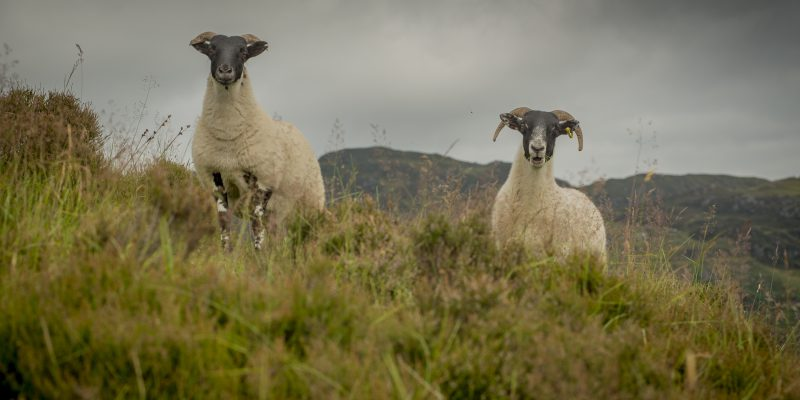 Upland Sheep Scheme payments to commence today