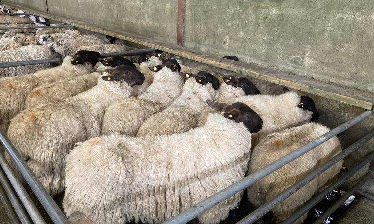 Tight hogget supplies and poor grass growth sees UK sheep kill fall in April