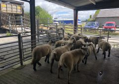 Northern spring lamb prices up over €27/head on this time last year