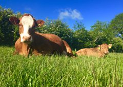 Using sexed semen to enhance the genetic merit of the suckler herd
