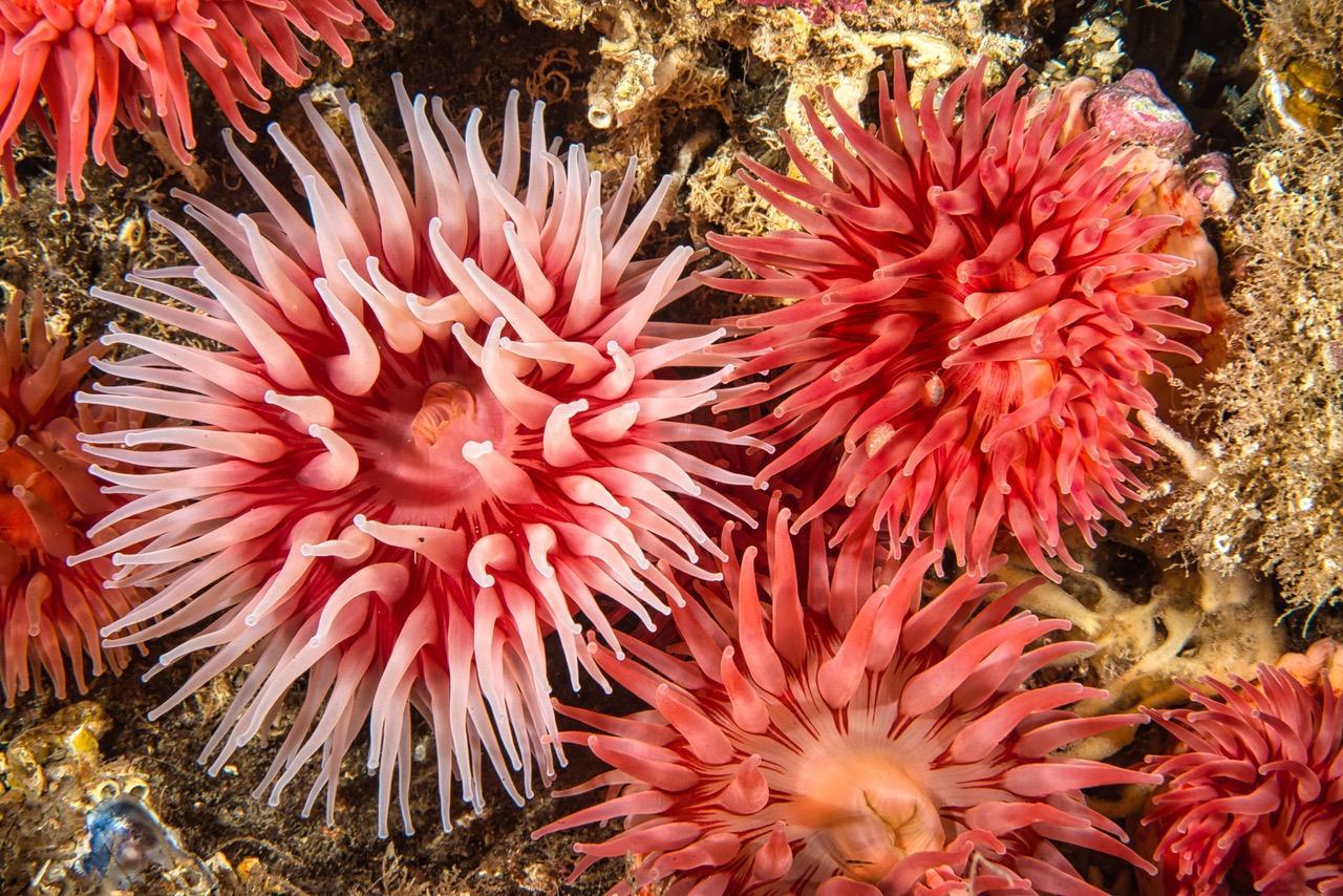 Knallskarpe farger dukker frem under havets overflate. Nærmest med åpen munn står sjøanemoner tett som hagel for å nyte godt av Saltstraumens matressurser. Foto: Vebjørn Karlsen.
