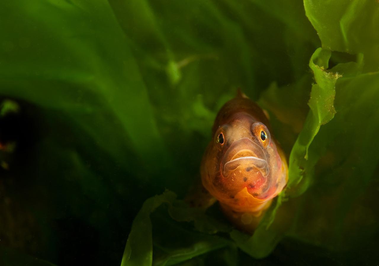 –Ikke kom å si at fisk ikke har personlighet. Når man ligger og venter på at en tangsprell skal titte fram fra sitt skjulested og den endelig stikker hode fram og man ser det litt undrende nysgjerrige blikket. Da ser man at fisk faktisk også har ansiktsuttrykk. Foto: Vebjørn Karlsen.