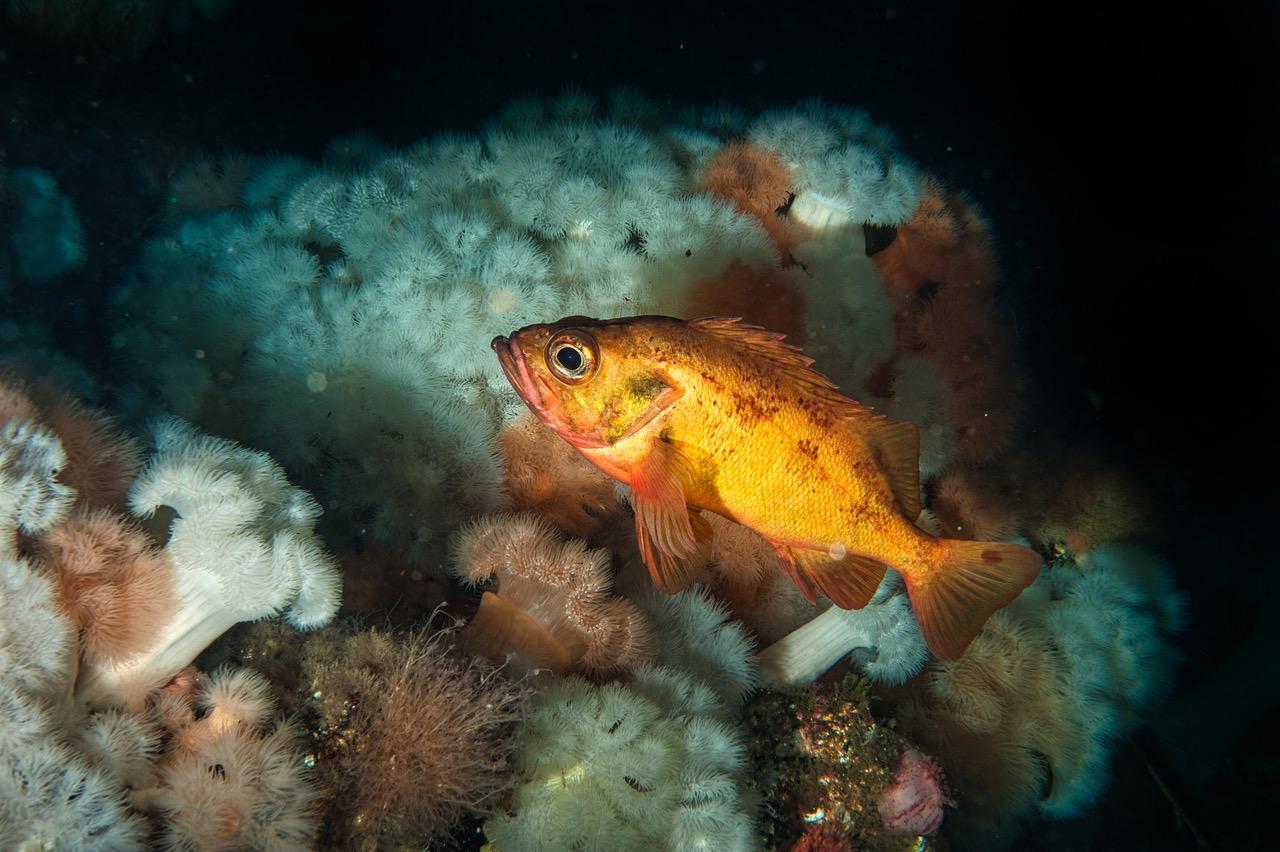 Lusuene reflekterer blitzene godt nede i dypet. Den skarpe fargen blir bare mørk uten riktig lys. Foto: Vebjørn Karlsen