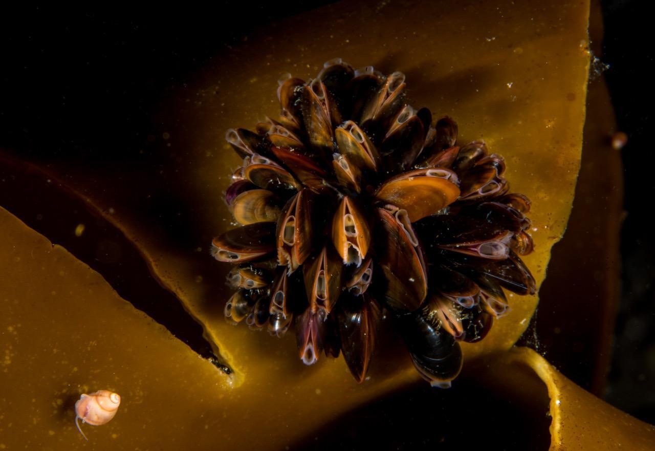 Det biologiske mangfoldet skjuler seg overalt. En tarestilksnegl hviler på siden en klynge med blåskjell. Foto: Vebjørn Karlsen