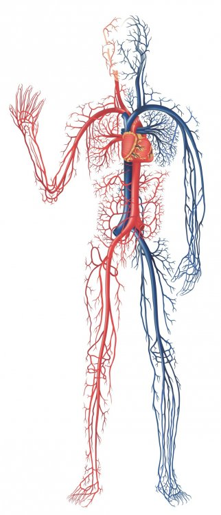 a-picture-of-the-circulatory-system.jpg