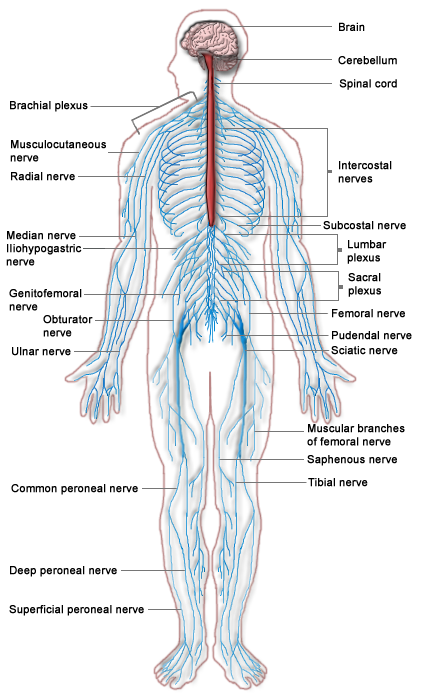 nervous-system-diagram.png