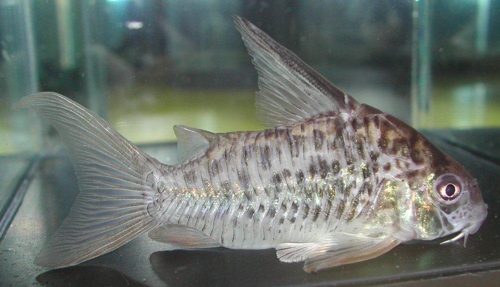 Corydoras sp. CW086