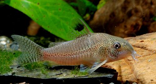 Corydoras sp. CW037