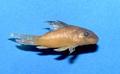 Corydoras - F