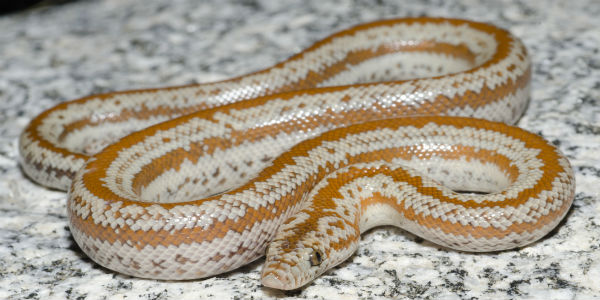 Rozy Boa snake