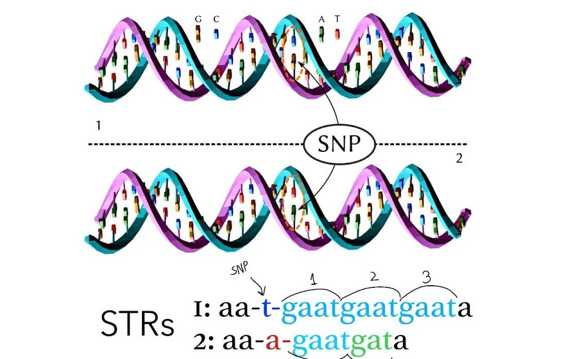 STRs (Short Tandem Repeats)