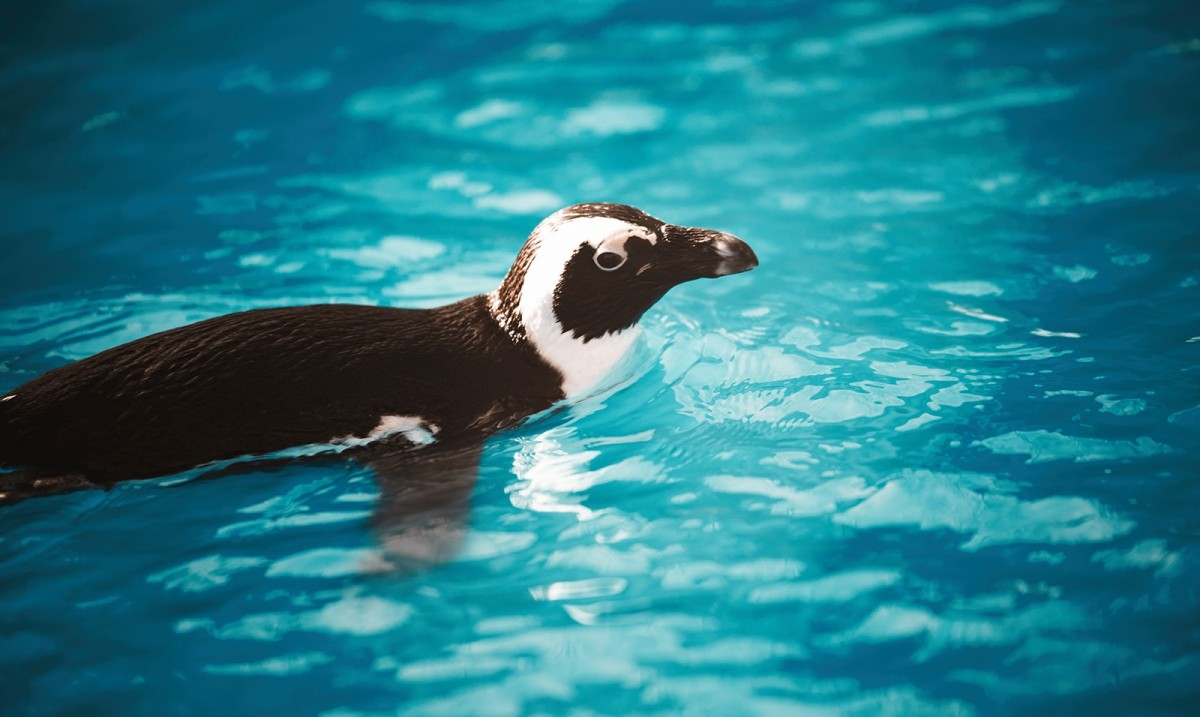 A penguin swims on the surface of bright blue water