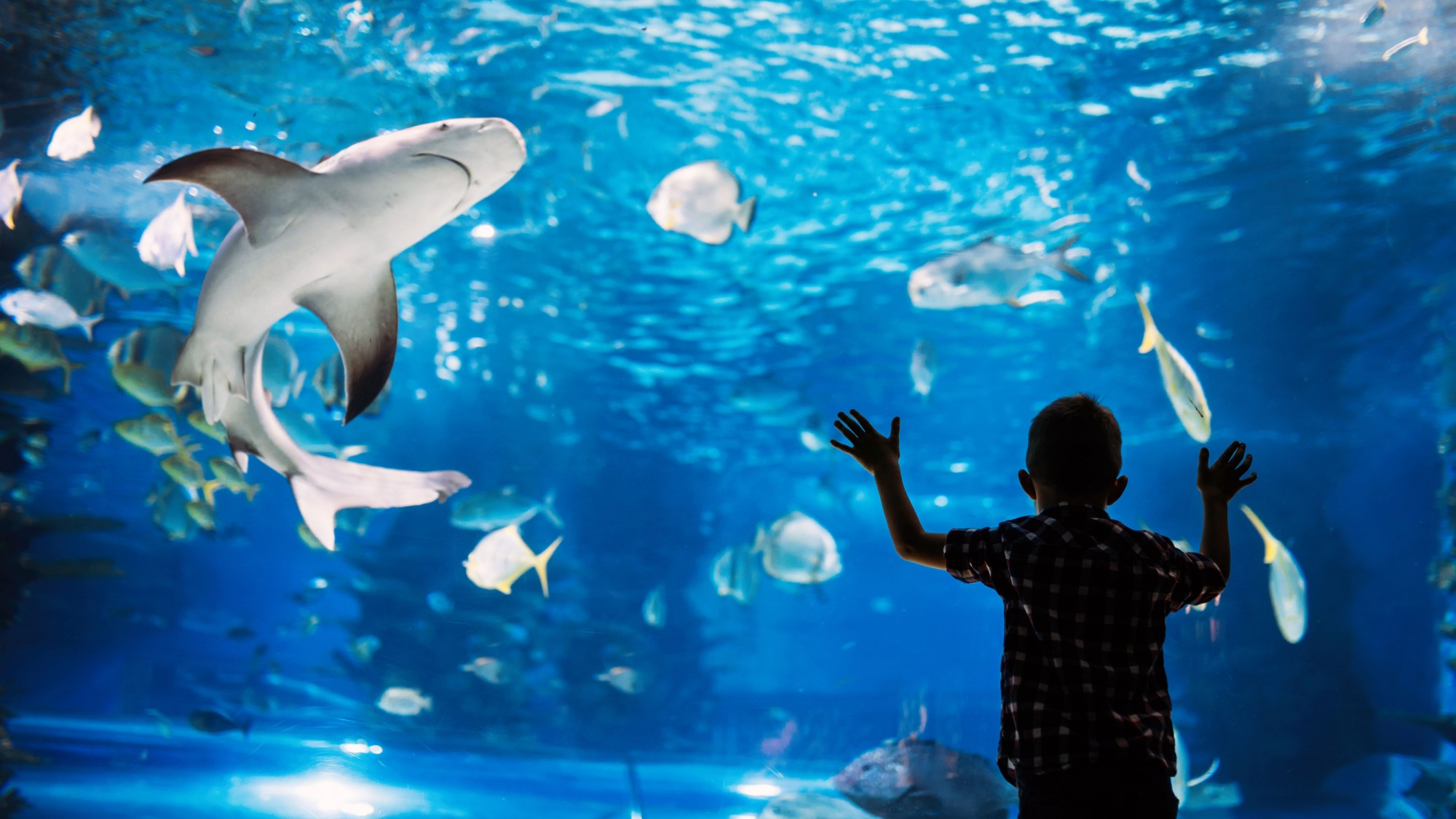 A silhouette of a child looking into a shark tank at an aquarium