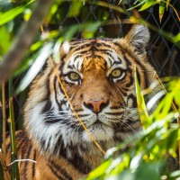 Tiger sitting amongst trees and bushes