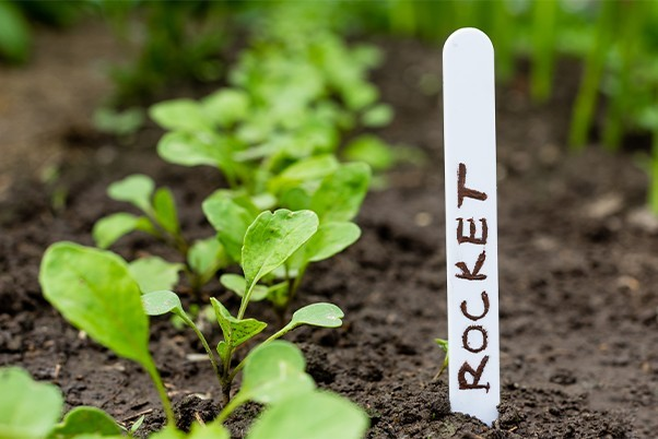 A lolly stick with 'rocket' written on it stick into soil next to a row of plants