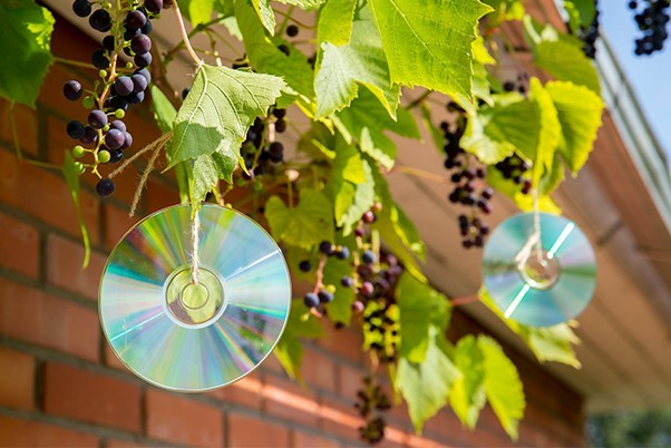 Discs being used in the garden as a pest deterrant