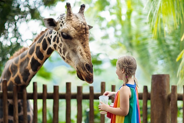 Young girl feeding a giraffe