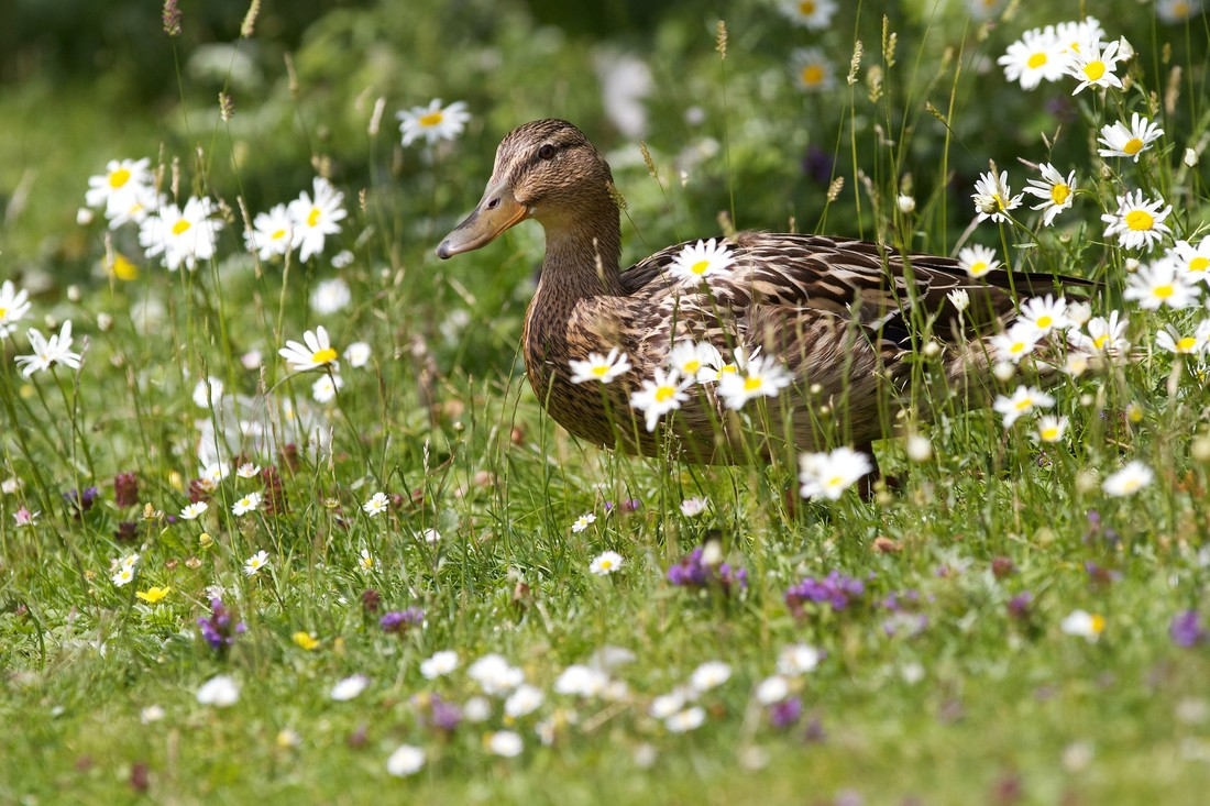 A brown duck stands in a field of white wild flowers