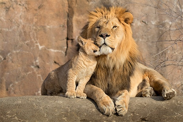 A young cub cuddles into a lion