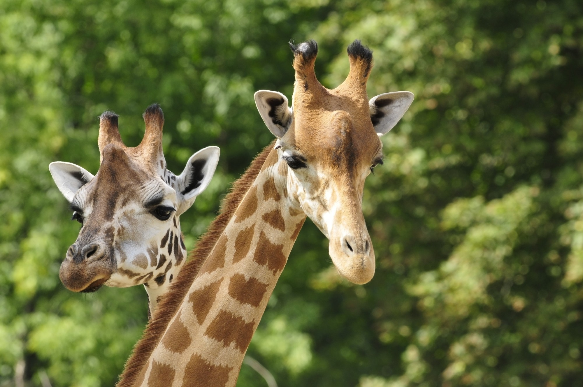 Two giraffes with trees in the background