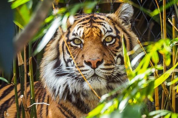 A tiger's face peering through foliage