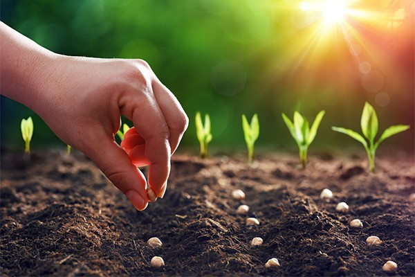 A hand planting seeds in rows