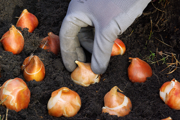 A hand in a white gardening glove planting flower bulbs