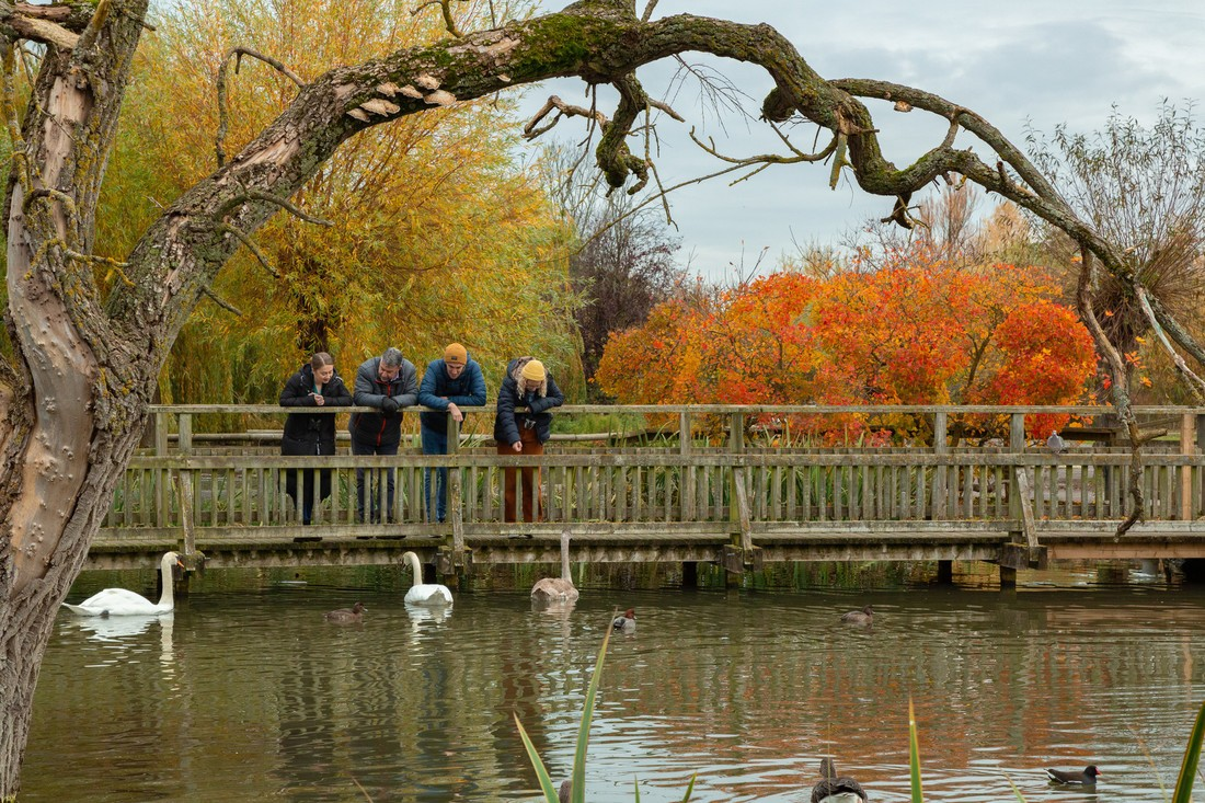 people looking at swans at a wwt site surrounded by autumn trees