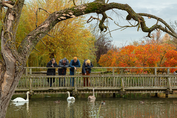 People looking over a bridge at swans on a lake with autumnal trees in the background