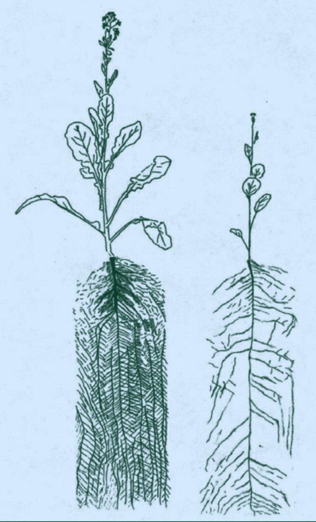 Two mustard plants
