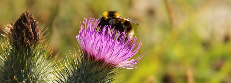 Content full width Bumble bee thistle