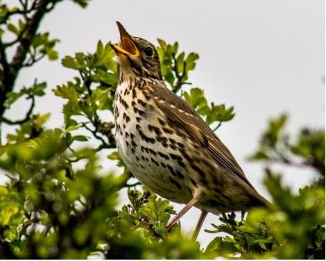 Song bird blog