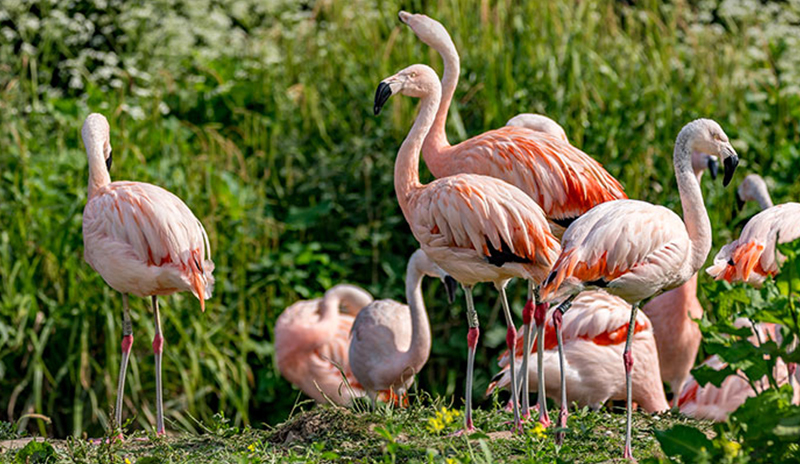 Blog flamingos at WWT Washington